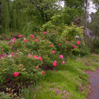 Photo Thumbnail #1: Front yard fence of knock out roses and ground...