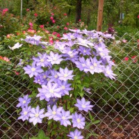 Photo Thumbnail #6: Clematis on fence between memory garden and...