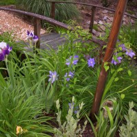 Photo Thumbnail #10: Bridge over ditch begins to bloom with clematis...