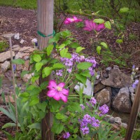 Photo Thumbnail #7: Clematis on bird house pole at ditch garden.