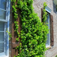 Photo Thumbnail #2: Jasmine growing on the front of the house