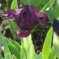 Photo Thumbnail #6: Dwarf Burgundy Iris. I like the dwarf iris...