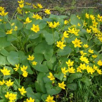 Photo Thumbnail #4: Marsh Marigold loves the wetland. Use this...
