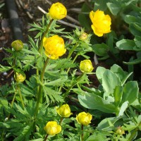 Photo Thumbnail #7: Trollius 'Globe Flower'