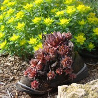 Photo Thumbnail #1: Yellow flower is Spurge. In the old boot are...