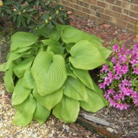Photo Thumbnail #3: Hosta