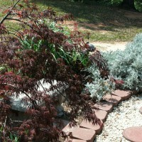 Photo Thumbnail #12: Japanese Maple with Zebra Grass and Dusty...