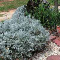 Photo Thumbnail #2: Closeup of large Dusty Miller. This one has...