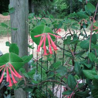 Photo Thumbnail #5: Closeup of Red Trumpet Honeysuckle just...
