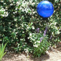 Photo Thumbnail #18: Gazing ball in front of Asiatic Star Jasmine....