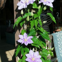 Photo Thumbnail #4: Dr. Rupples Clematis trained on patio post
