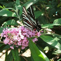 Photo Thumbnail #17: Butterfly feasting on Butterfly Bush
