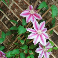 Photo Thumbnail #7: Nelly Moser Clematis climing trellis on east...