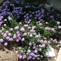 Photo Thumbnail #10: Verbena next to patio