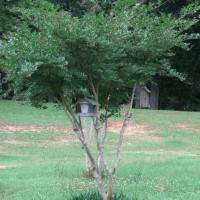 Photo Thumbnail #28: White blooming Crepe Myrtle in center of yard,...
