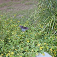 Photo Thumbnail #13: Butterfly enjoying Lantana