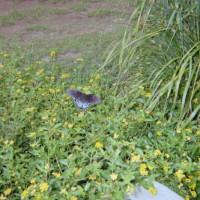 Photo Thumbnail #13: Butterfly enjoying Lantana