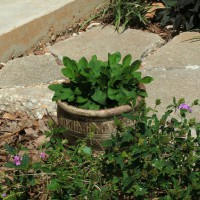 Photo Thumbnail #6: Pot containing Yellow Coreopsis beside patio....