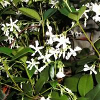 Photo Thumbnail #3: Closeup of Asiatic Star Jasmine blooms