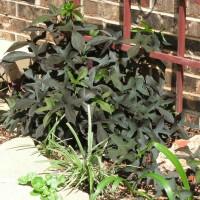 Photo Thumbnail #21: Blackie Sweet Potato vine at foot of trellis