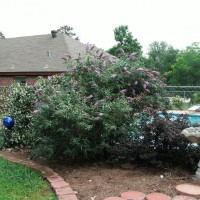 Photo Thumbnail #22: The Butterfly Bush was not cut back this spring...