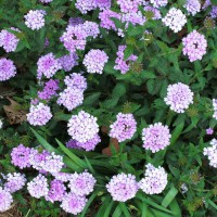 Photo Thumbnail #9: Closeup of Verbena in bloom