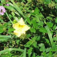 Photo Thumbnail #25: Happy Returns daylily growing among Verbena in...
