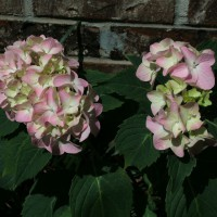 Photo Thumbnail #26: Pink Hydrangea growing on east side of house....