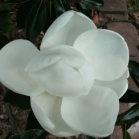 Photo Thumbnail #19: Closeup of Little Gem Magnolia bloom