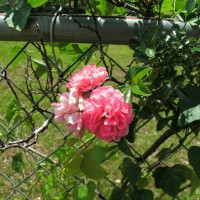 Photo Thumbnail #24: Old fashioned pink climbing rose on fence