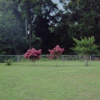 Photo Thumbnail #27: Row of Pink Crepe Myrtles along back fence