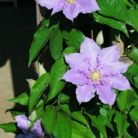Photo Thumbnail #2: Closeup of Clematis