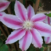 Photo Thumbnail #8: Closeup of Nelly Moser clematis