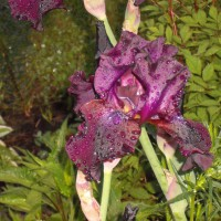 Photo Thumbnail #3: this Iris is almost black from a distance