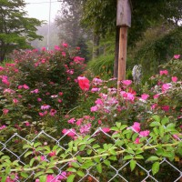 Photo Thumbnail #6: Rose garden