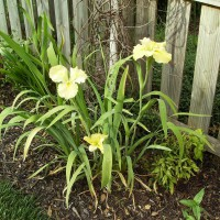 Photo Thumbnail #19: Iris I for on sale at the end of spring 08 - it...