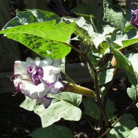 Photo Thumbnail #10: Close up of Purple Angel Trumpet Bloom.