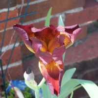 Photo Thumbnail #27: My favorite Iris