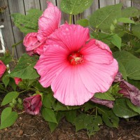 Photo Thumbnail #13: Hibiscus Blooms are so wonderful.