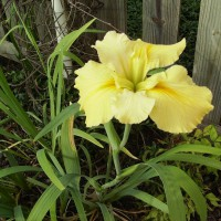 Photo Thumbnail #20: I love it - not sure its name - Japanese Iris?