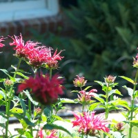 Photo Thumbnail #29: Bees Balm.
