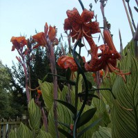 Photo Thumbnail #2: Orange flowers together.