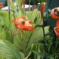 Photo Thumbnail #3: Close up of Tiger Lily.
