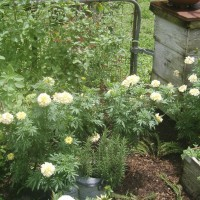 Photo Thumbnail #3: I grew these 'white marigolds' this year from...