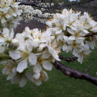 Photo Thumbnail #2: My plum tree is swarming with honeybees!