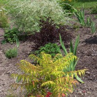 Photo Thumbnail #30: Tiger Eye sumac, Summer Wine ninebark, and...