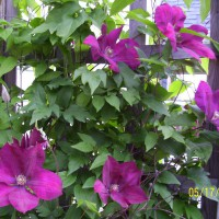 Photo Thumbnail #3: Clematis by the side of the house