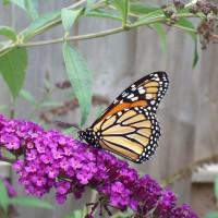 Photo Thumbnail #14: Thus the butterfly in butterfly bush.
