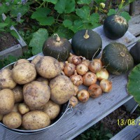 Photo Thumbnail #16: I harvested potatoes for the first time from my...