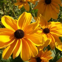 Photo Thumbnail #19: This variety of Black-eyed Susan (?) self...